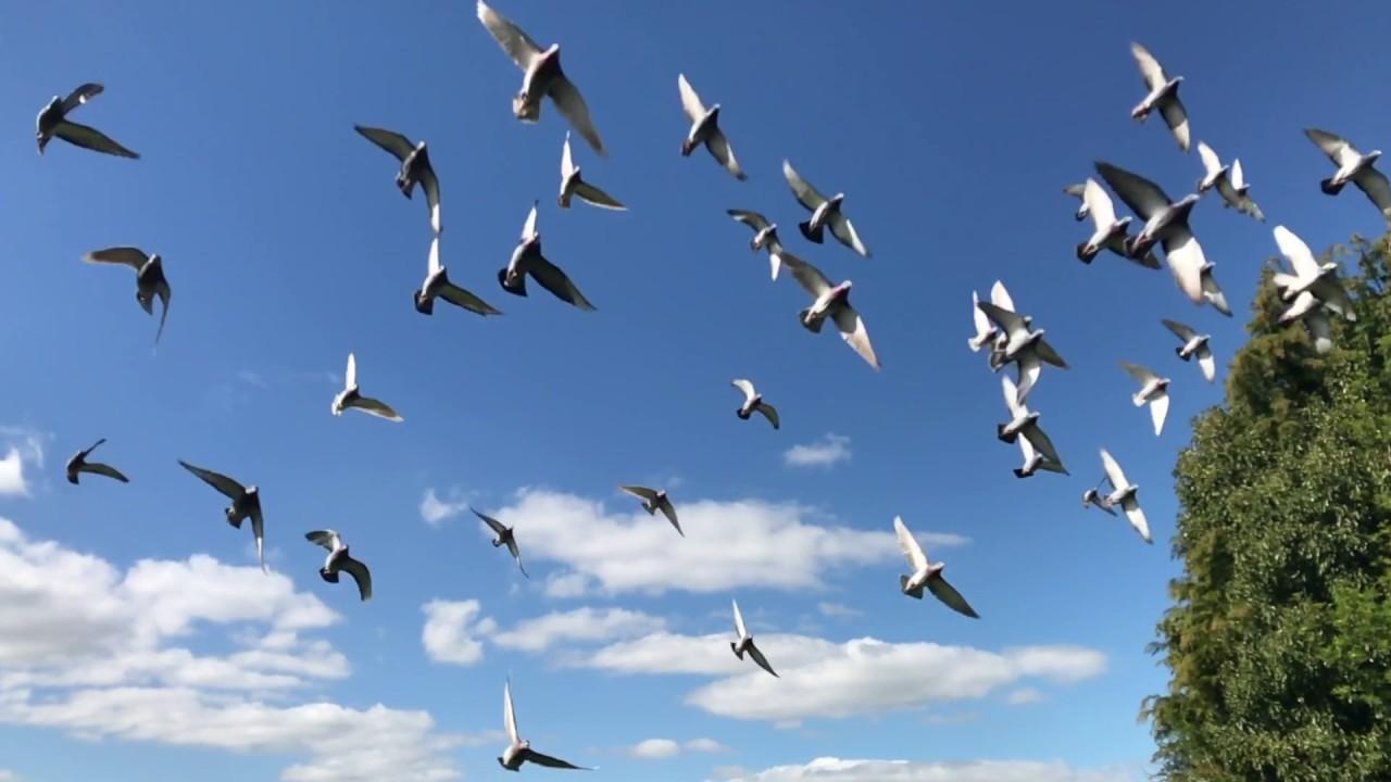 Pigeons Flock Flying Birds Flight Nature Wings Pigeons ...  Flock