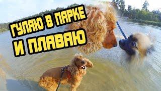 Спаниель Сёма гуляет в парке и плавает в озере