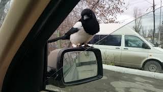 СОРОКА пасажир! Наглая птица, чуть не угнала....