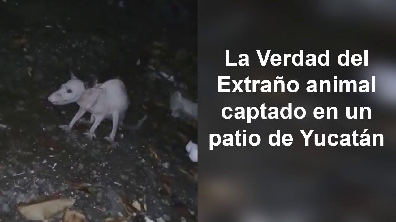 La Verdad del Extraño Animal de Yucatán