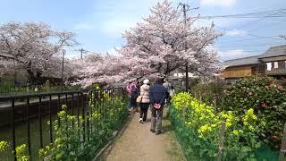 4Kブラブラ歩き 京都市山科の疎水の桜 Sony FDR X3000 20190401 Cherry blossoms of Kyoto Yamashina