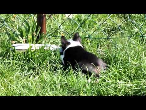 Boston Terrier Welpe, ...