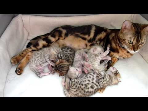 Bengal kittens happy family