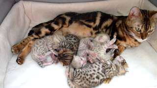 Bengal kittens happy family