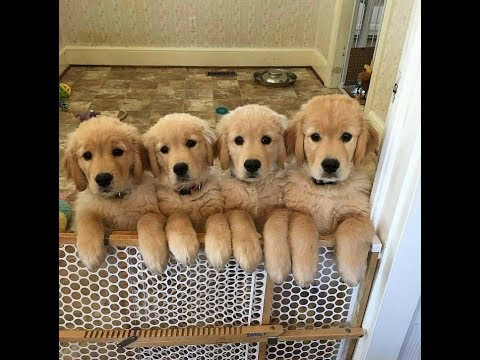 Cute golden retriever puppies for sale by dogsbreedofficial