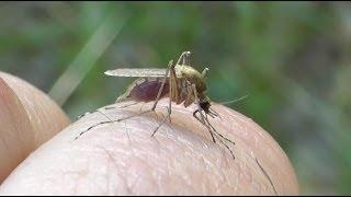 Технология укуса комара в высоком качестве(Данное видео снято с одной целью узнать как комары сосут кровь, на сколько заглубляют жало в кожу человека...., 2014-06-30T14:15:04.000Z)