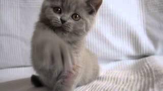 Лиловый британский котенок кошечка Диадема в питомнике British House