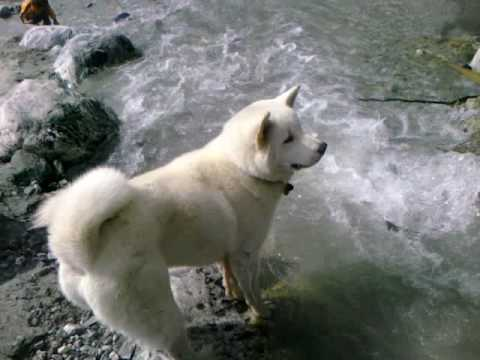 Intelligent Akita Puppy Wow Smart dog