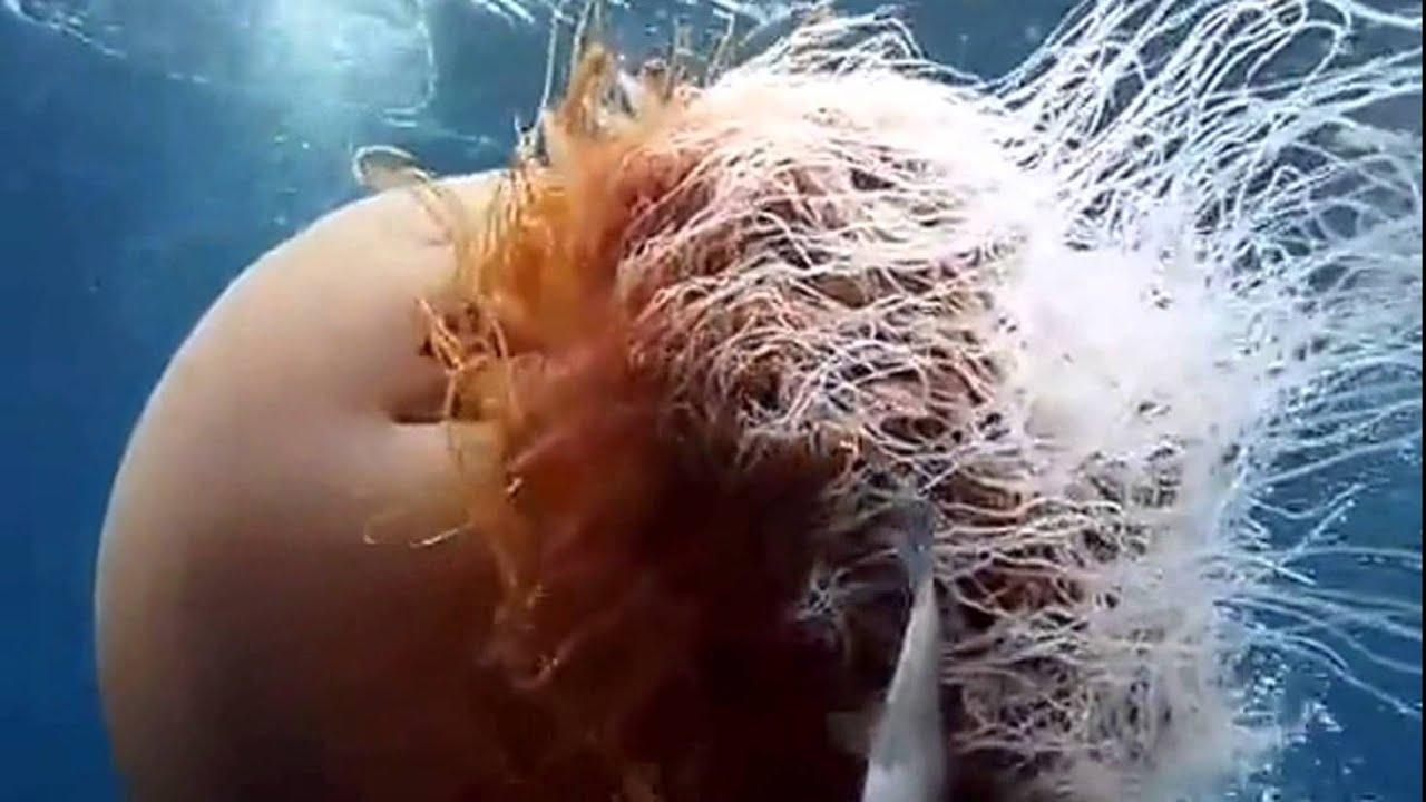 самая огромная медуза