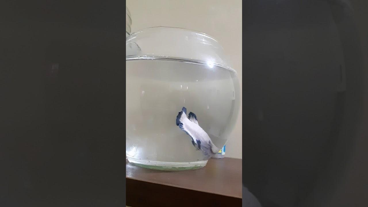 Ikan cupang plakat blue rim - YouTube
