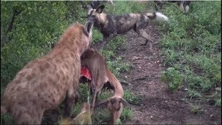 Hyenas attack wild dogs for prey