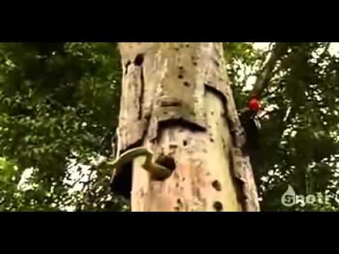 لن تصدق طنان الخشب يقاتل ثعبان