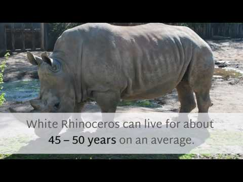 17 Unknown Things You Should Know About White Rhinoceros