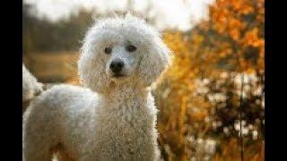 كلب البودل ثاني اذكى كلب بالعالم مع جمال العمواسي