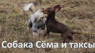 Собака Сёма и собаки таксы