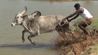 Dasanapuram  Jallikattu Bull jumping and swimming ! of Narayanappa