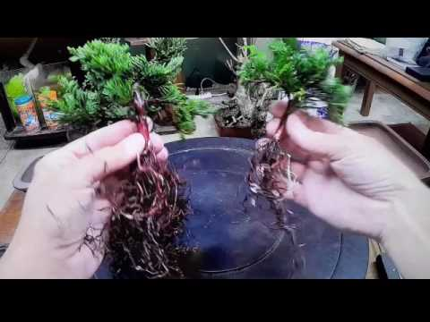 How To Cheap And Easy Bonsai Tree Using Walmart Nursery Specimen Blue Rug Juniper Youtube