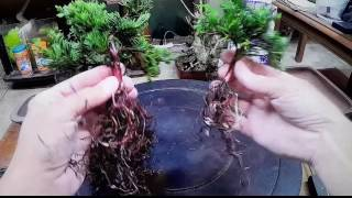 How to Cheap and easy bonsai tree using walmart nursery specimen blue rug juniper