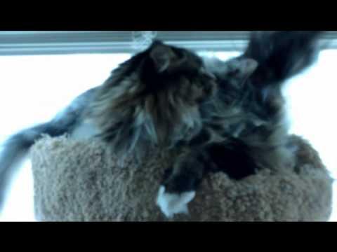 Siberian kitten vs Maine Coon cat