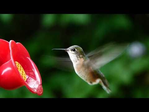 Calliope Hummingbird - The Smallest North American Bird
