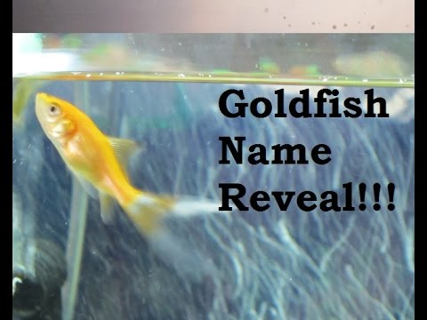 Goldfish Name Reveal
