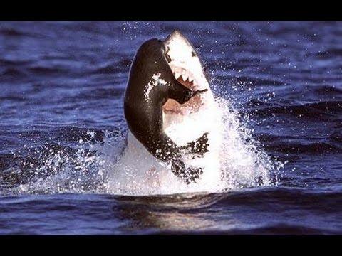 Shark Sighting in Massachusetts 2014 - Beach Evacuated seeing Great White Shark