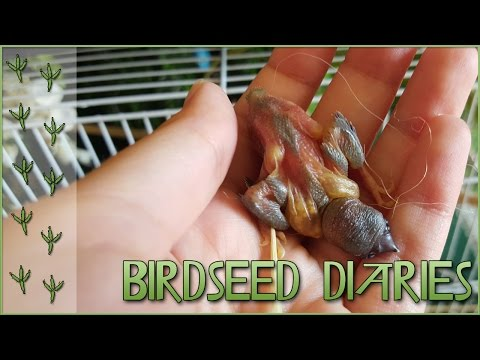Peeping Baby Bird Pinfeathers!! || Birdseed Diaries Special!!