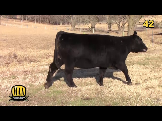 Missouri Angus Futurity Lot 42