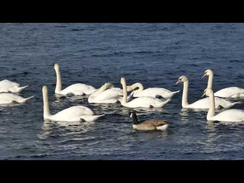 Swans On A Lake wow !