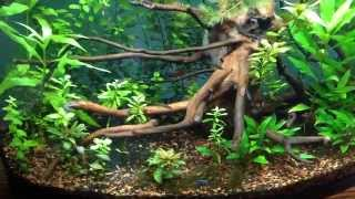 36 gallon bowfront planted tank update new ada driftwood