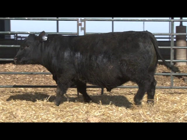 Schiefelbein Angus Farms Lot 18