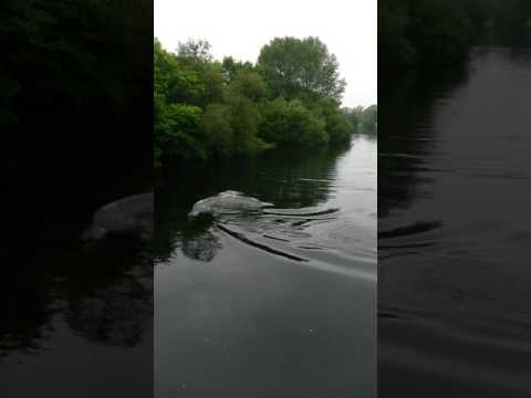 Wild seal in river Dart