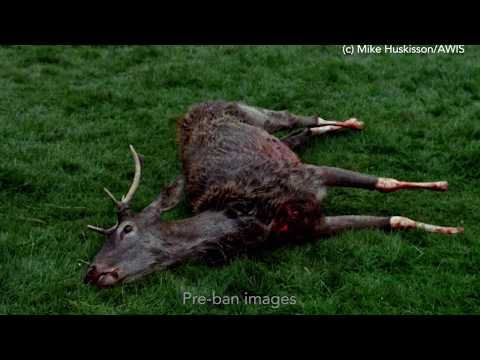 Observed to Death  - Stag hunting report
