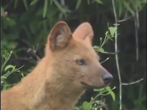 WildLife Sanctuary - Indian wild dogs (Dhole) Full Documentary - Animals In Asia