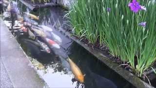 鯉の泳ぐ城下町 津和野町 Nisiki Koi swim in the canal in japan