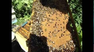 что такое - печатный расплод у пчел