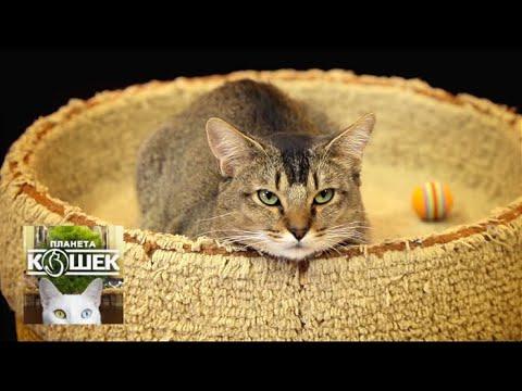 Вопрос: Московская маскарадная кошка что за порода?