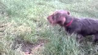 Dachshund Finds A Den And Starts Digging
