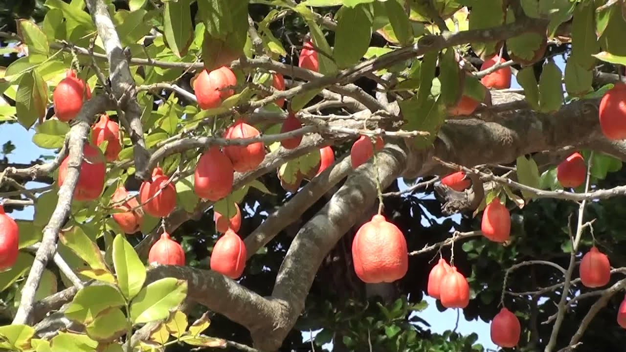 ackee tree negril jamaica youtube