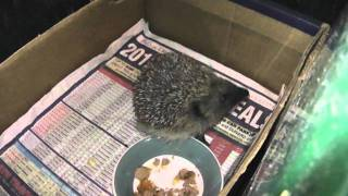 European Hedgehog (Erinaceus europaeus) (6th December 2011)