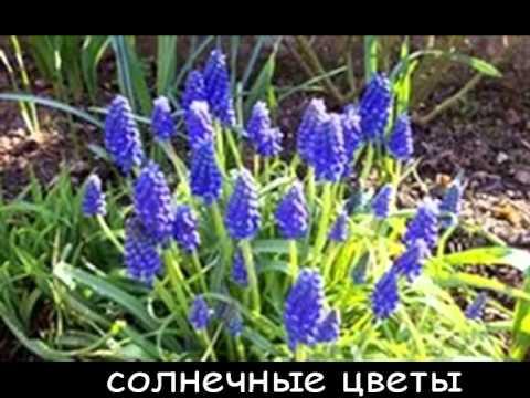 Киреева С.В. 1 гр. презентация Мускари