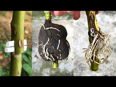 Nhân giống hoa hồng theo cách mới | How to make a rose root