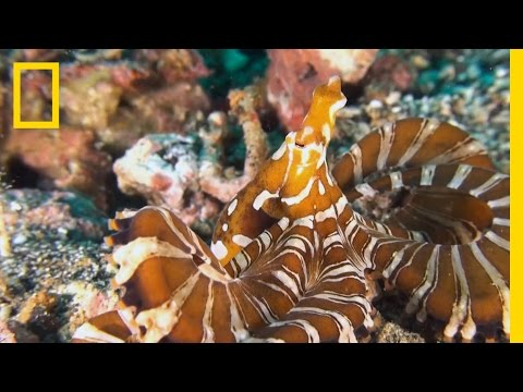 What Makes the Wonderpus Octopus So Wonderful? | National Geographic