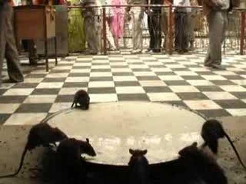 KARNI MATA: holy indian rat temple
