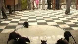KARNI MATA: holy indian rat temple
