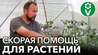 СОЖГЛИ РАСТЕНИЯ ПОДКОРМКОЙ ИЛИ ОБРАБОТКОЙ? Реанимируем растения быстро и эффективно