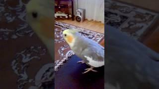 Говорящий попугай. Прикол. Хозяйка на работу,попугай за хозяина. Смешное видео о животных.