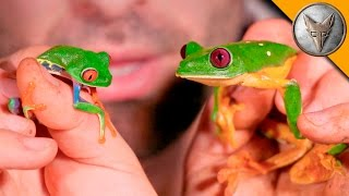 Repeat youtube video Red Eye vs Gliding Tree Frog!