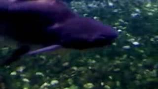 Sutchi Catfish