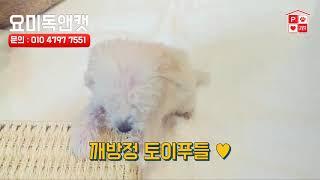 김포애견샵 깨방점 토이푸들! 귀여워 미쳐! 강아지분양